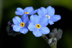 Myosotis sylvatica Royalty Free Stock Image