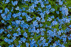 Myosotis sylvatica background. Useful as background sample Royalty Free Stock Photo