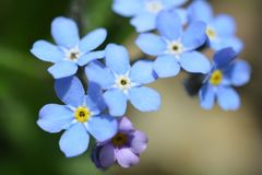 Myosotis sylvatica in blue and purple. Beautiful fresh Myosotis on the green background from close.Big nice colorful flower closely. With pollen in the spring Royalty Free Stock Photos