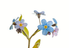 Myosotis sylvatica Royalty Free Stock Photography