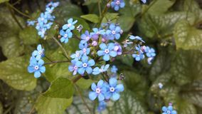 Myosotis (Forget-Me-Not or Scorpion Grass) Plants Blossoming in Spring at Battery Park in Manhattan, New York, NY. Stock Images
