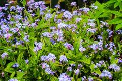 Myosotisbloemen in de tuin Royalty-vrije Stock Foto