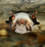 Myotis Myotis Stockfotos