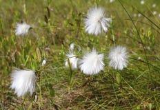 Myr för bomullsgräs Slut upp bomullsgräs, grund DOF arkivbild