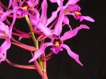 myr-orchidsuperbiens arkivbilder