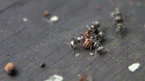 Myra för makroultrarapidgrupp som anfaller och äter larven i lös skog stock video