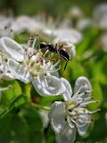 Myra på blomma Royaltyfri Bild