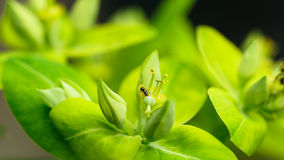 Myra på en Euphorbia fotografering för bildbyråer