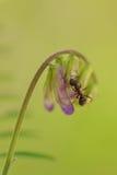 Myra på en fågelvicker Royaltyfri Bild