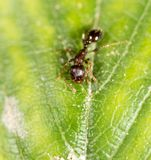 Myra på ett grönt blad Makro royaltyfri bild