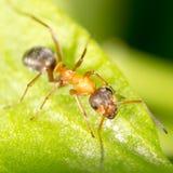 Myra på ett grönt blad Makro arkivbilder
