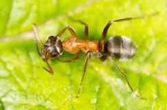 Myra på ett grönt blad Makro royaltyfria bilder