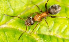 Myra på ett grönt blad Makro fotografering för bildbyråer