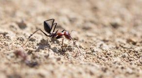 Myra på torr jordning Makro arkivbilder