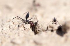 Myra på torr jordning Makro arkivbild