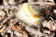 Myra som anfaller en larv royaltyfri foto