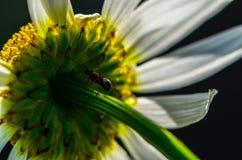 Myra som klättrar en blommastam Arkivbild