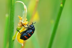 Myrablis variabilis. Detail of a European color beetle Stock Photos