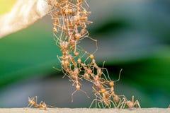 Myrabroenhet Arkivbild