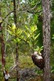 myramyrmecophyteväxt Royaltyfria Foton