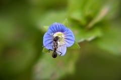 Myran dricker nektar från blomman Royaltyfri Foto