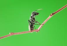Myran sitter på frunch Arkivfoton