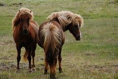 两匹马在Myrar地区,冰岛 免版税库存照片