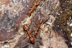 myrared Fotografering för Bildbyråer