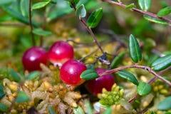 myrcranberries som växer wild Royaltyfria Bilder
