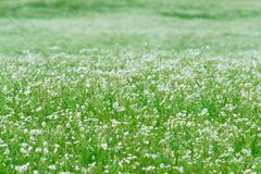 Myriads of white daisies. Green Hill. Summer season. stock photography