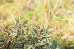 Myrica gale - a species of flowering plant royalty free stock photos