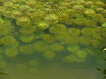Myriophyllum aquaticum Stock Photography