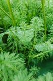 Myriophyllum spicatum/aquaticum in een vijver royalty-vrije stock foto's