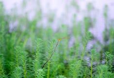 Myriophyllum, watermilfoil, του γλυκού νερού υδρόβιες εγκαταστάσεις Στοκ φωτογραφία με δικαίωμα ελεύθερης χρήσης