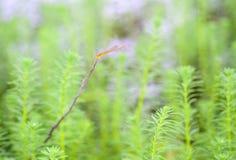 Myriophyllum, watermilfoil, του γλυκού νερού υδρόβιες εγκαταστάσεις Στοκ Εικόνες