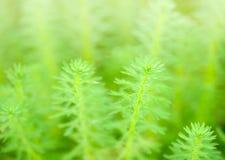 Myriophyllum, watermilfoil, του γλυκού νερού υδρόβιες εγκαταστάσεις Στοκ Εικόνα