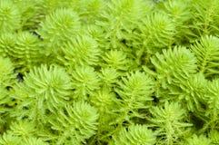 Myriophyllum watermilfoil Στοκ Εικόνες