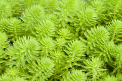 Myriophyllum watermilfoil Stock Images