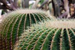 Myriostigma Astrophytum, зеленый кактус в саде стоковое фото rf