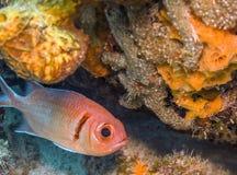 Myripristis jacobus, Blackbar soldierfish Stock Photography