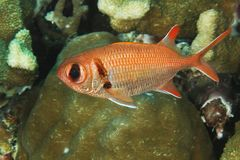 Myripristis murdjan - Soldier fish Royalty Free Stock Photography