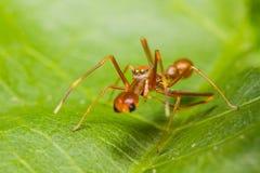 Myrmarachne plataleoides jumping spider. Male Myrmarachne plataleoides jumping spider Stock Images