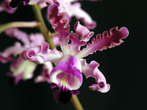 Myrmecophilia exaltata. Orchid specie from Honduras, Central America Stock Image