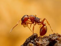 Myrmica myra   Fotografering för Bildbyråer