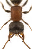Myrmilla lezginica. Detail of a female velvet ant, Myrmilla lezginica, isolated on a white background royalty free stock photos