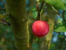 Myrobalan plum Stock Image