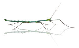 Myronides Sp, stick insect Royalty Free Stock Image