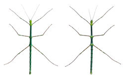Myronides Sp, stick insects Royalty Free Stock Image