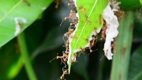Myror är spaningar på mangosidor arkivfilmer