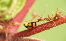 myror äter nyckelpigavävaren Arkivfoto